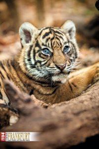 Der Name des am 3. April geborenen Sumatra-Tiger-Mädchens Berani wurde in einem Online-Wettbewerb ermittelt.