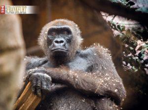 Ein Handy für den Gorilla. Wer sein altes Handy spendet, unterstützt ein Gorilla-Schutzprojekt im Kongo.