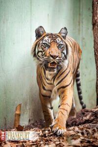 Fürsorgliche Mama. Zum dritten Mal hat Sumatra-Tigerin Malea Nachwuchs bekommen.