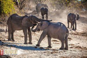 Was sich liebt, das neckt sich - zwei junge Elefanten spielen am Flussufer.