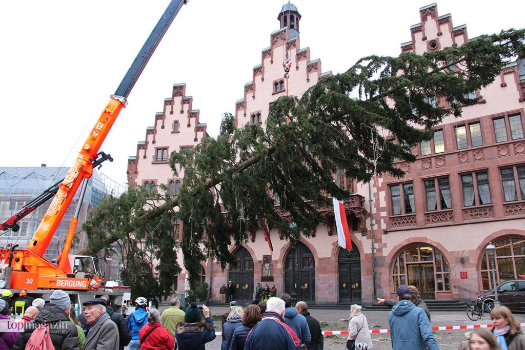 Die Frankfurter Berufsfeuerwehr stellte die Rotfichte auf dem Römerberg auf (Foto Stefan Maurer)